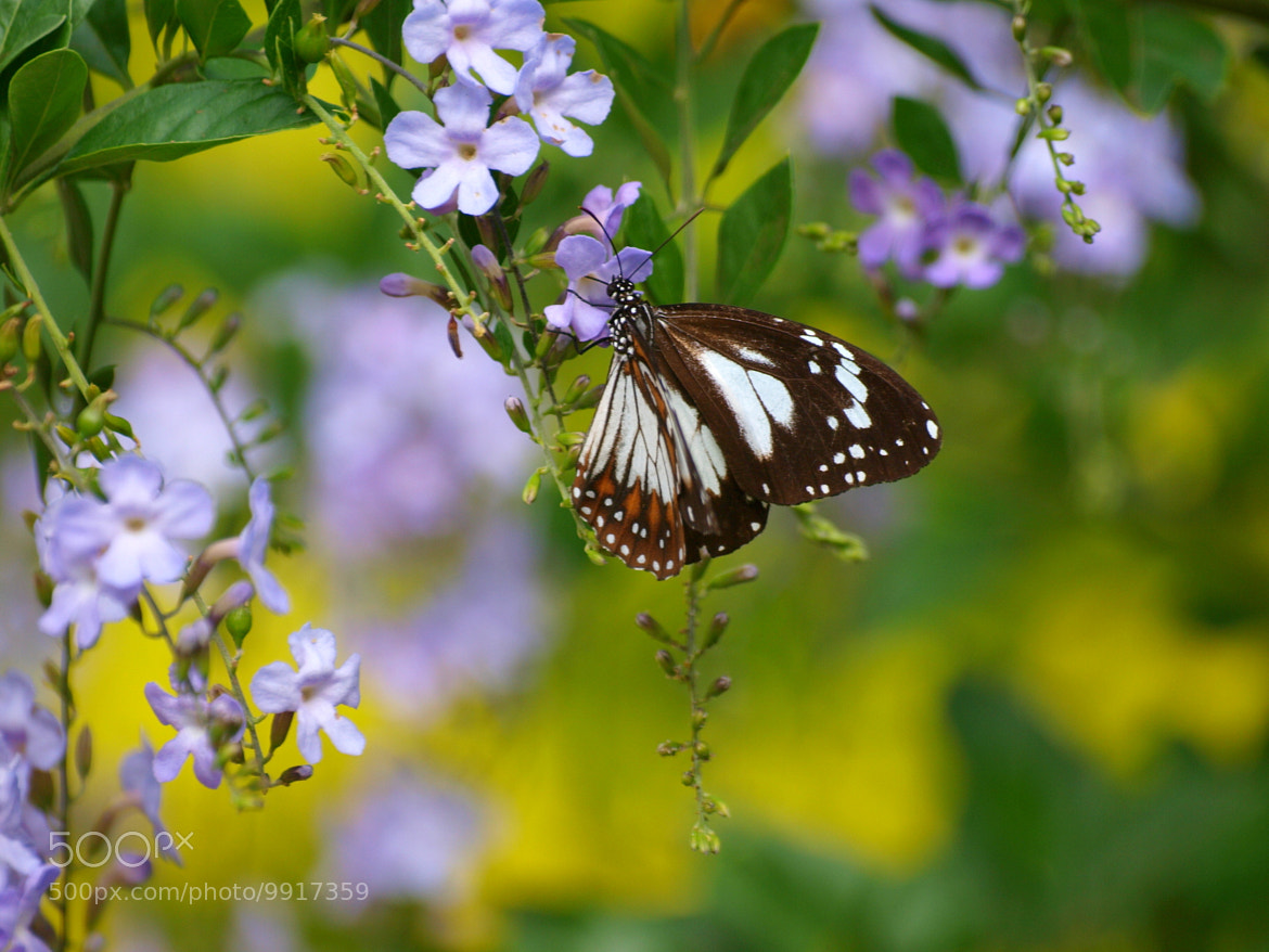 Photograph Butterfly Bokeh by di  northey on 500px