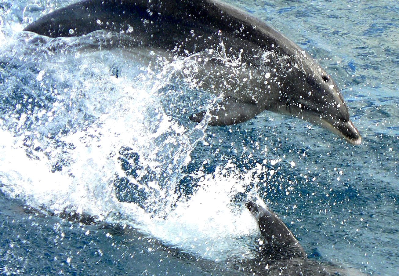 Photograph Leaping Dolphins by di  northey on 500px