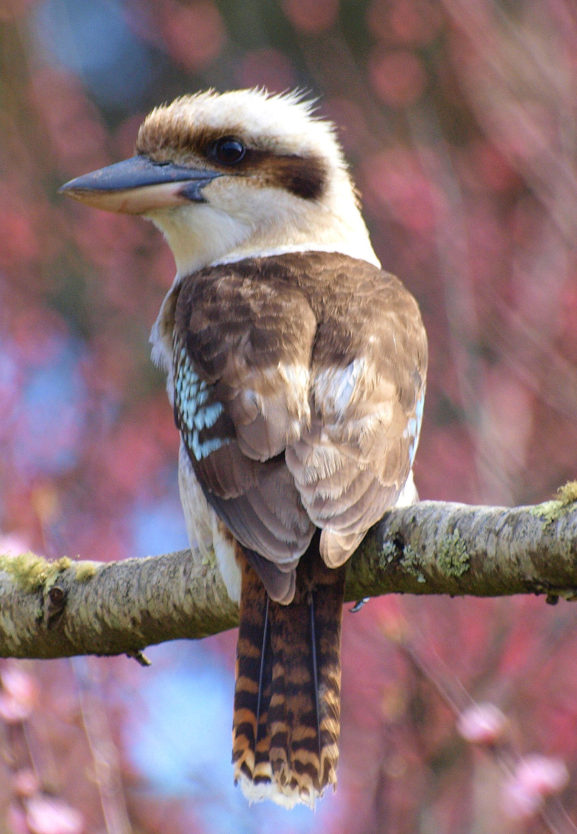 Photograph Kookaburra by di  northey on 500px