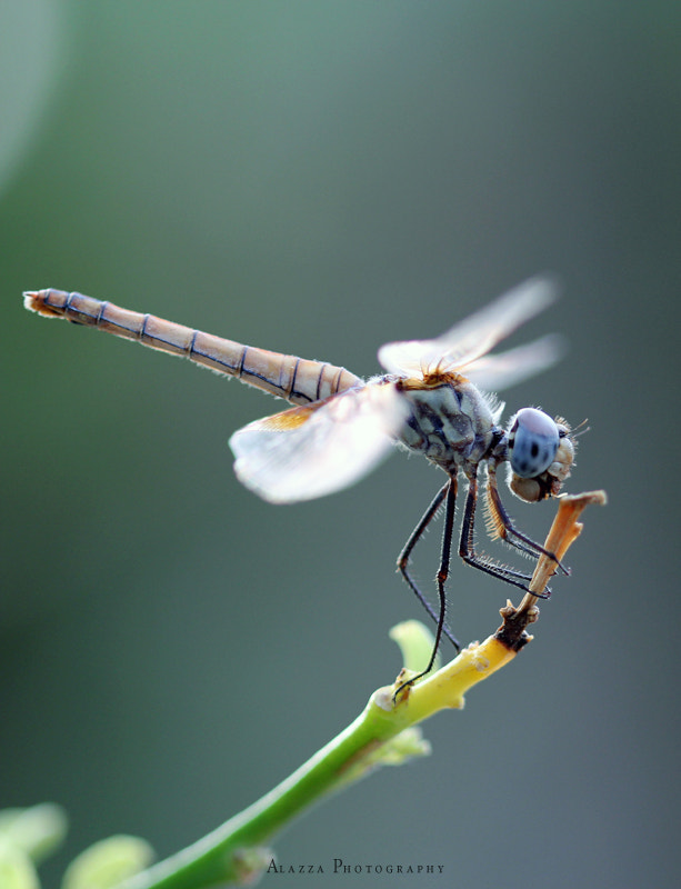 Photograph Dragonfly by Alazza  Alhooti on 500px
