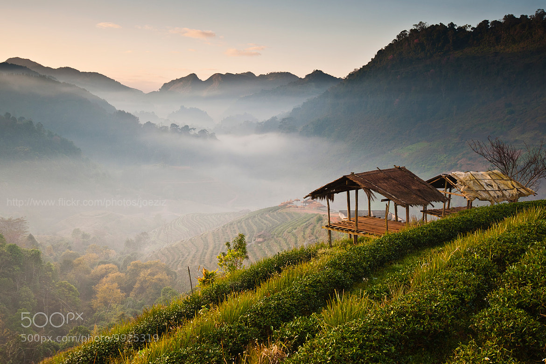 Photograph Tea Plant in Chiang Mai by Ekkachai Pholrojpanya on 500px