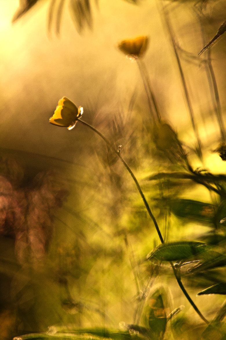 Photograph buttercup by Magnus Lögdberg on 500px