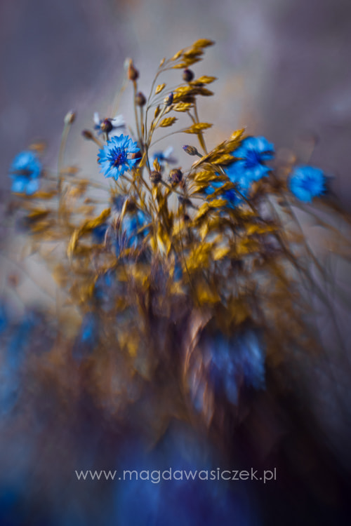 Photograph A bouquet of cornflowers by Magda Wasiczek on 500px