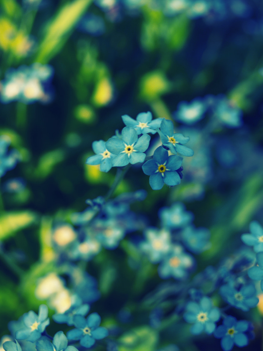 Photograph Forget-me-not by Mirela Waterlander on 500px