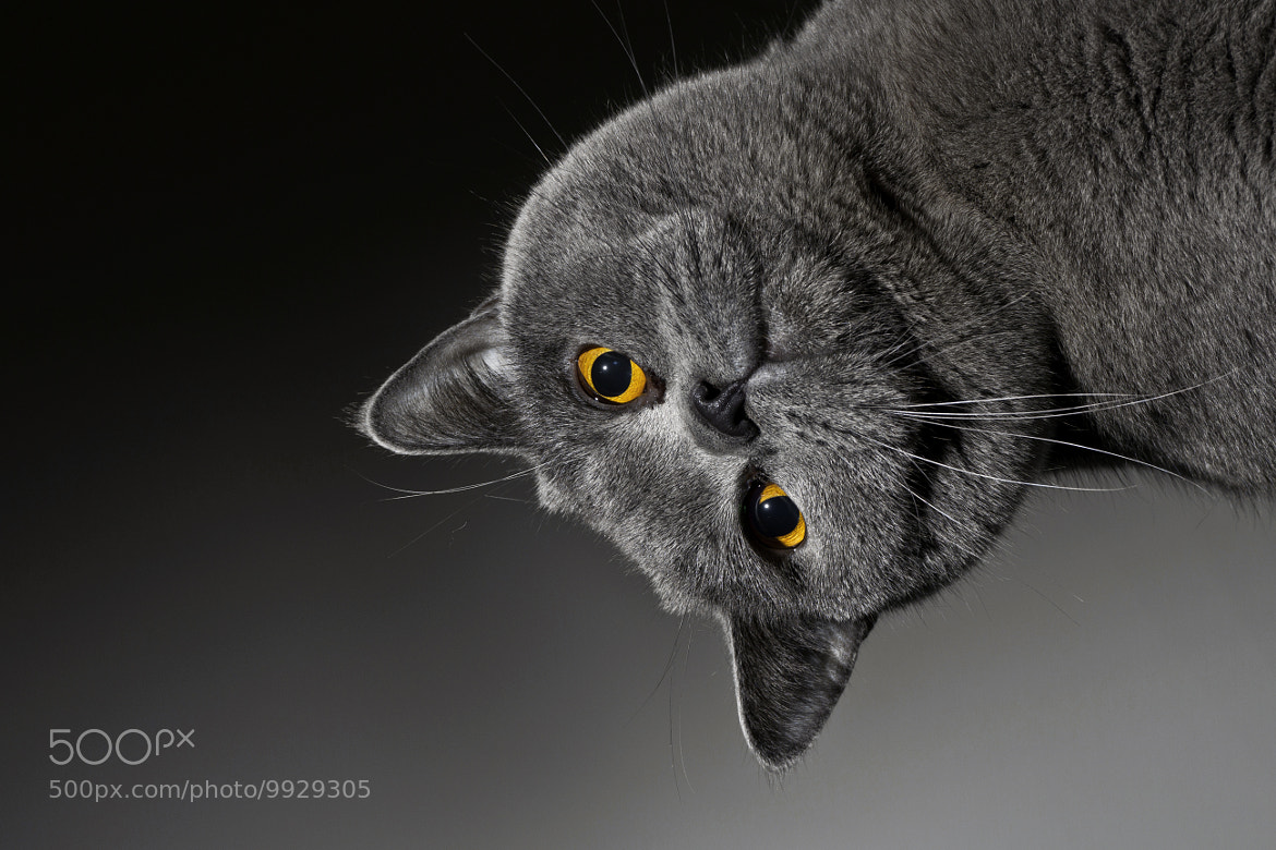 Photograph British Shorthair cat by Nils Hastrup on 500px