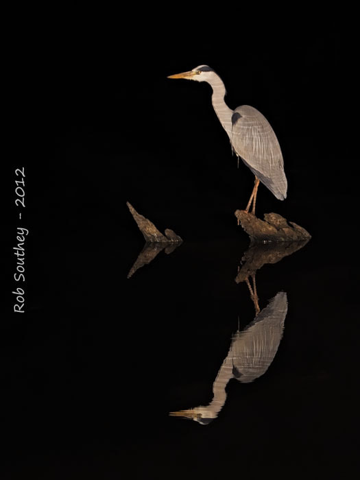 Photograph Heron by Night by Rob  Southey on 500px