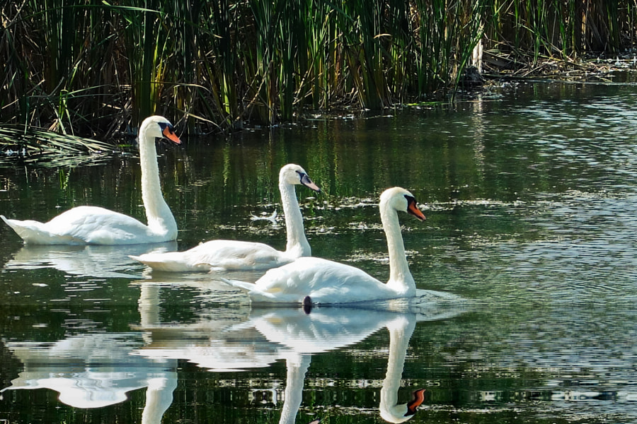 Swans - Wilmot Creek Conservation Area