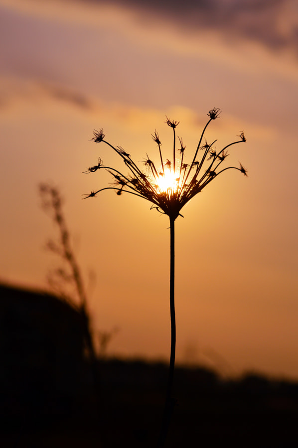 Photograph sunset on a dry anthriscus sylvestris by Papanikolaou Joanna on 500px