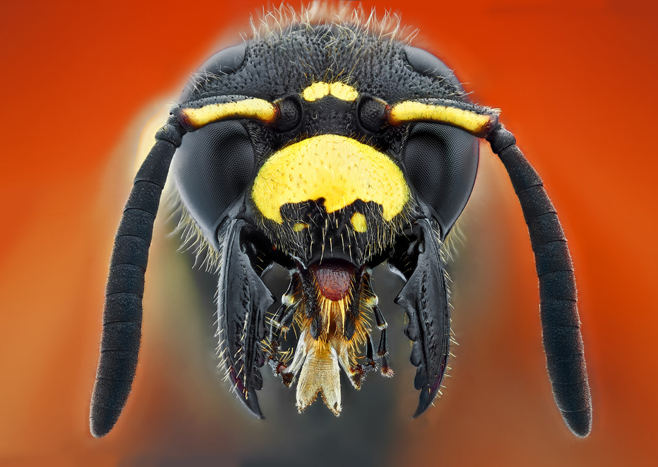Photograph wild wasp by Omid Golzar on 500px