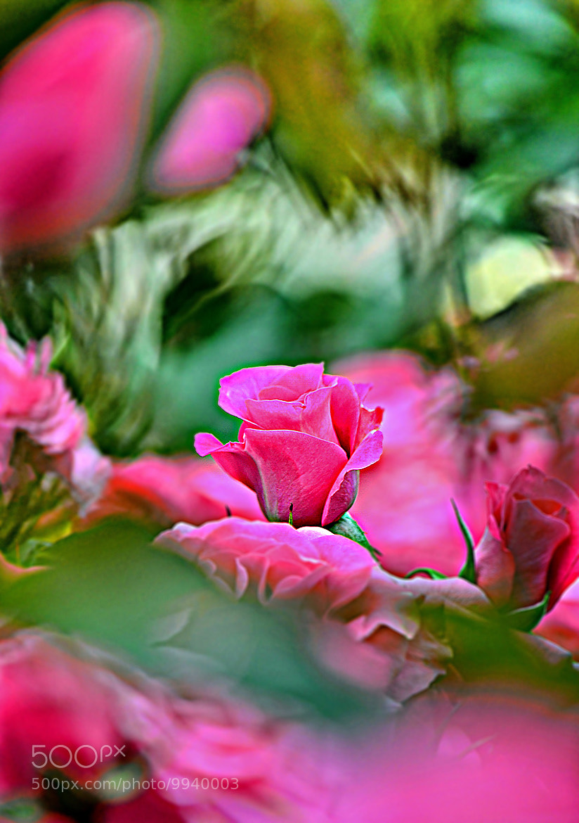 Photograph ...Rose of Van Gogh... by Bu Balus on 500px