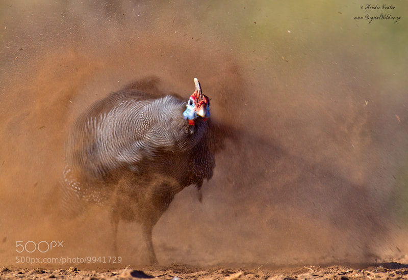 Photograph Shaking guinea fowl by Hendri Venter on 500px
