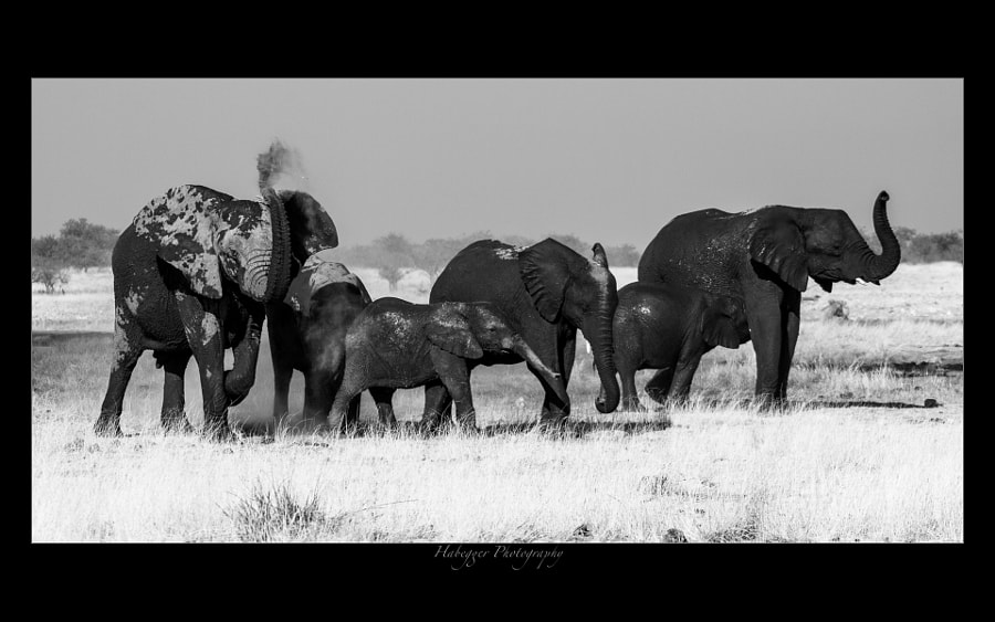 elephants after bathing, etosha national park, namibia