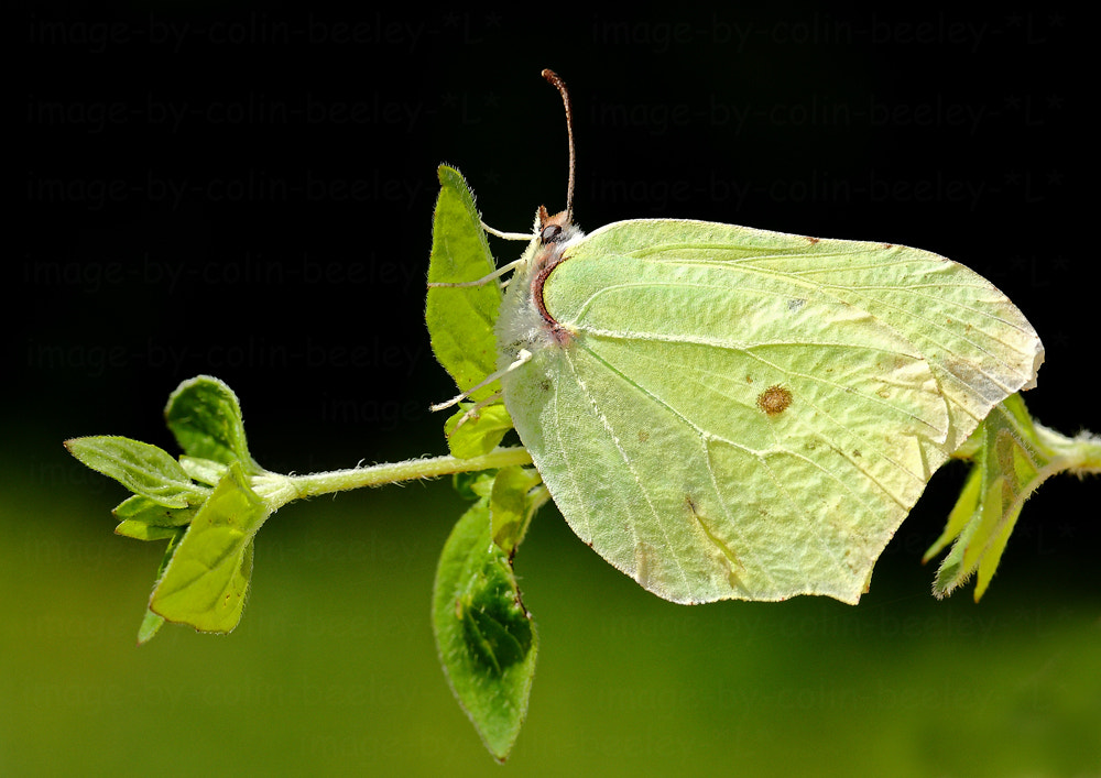 Photograph brimstone by colin beeley on 500px