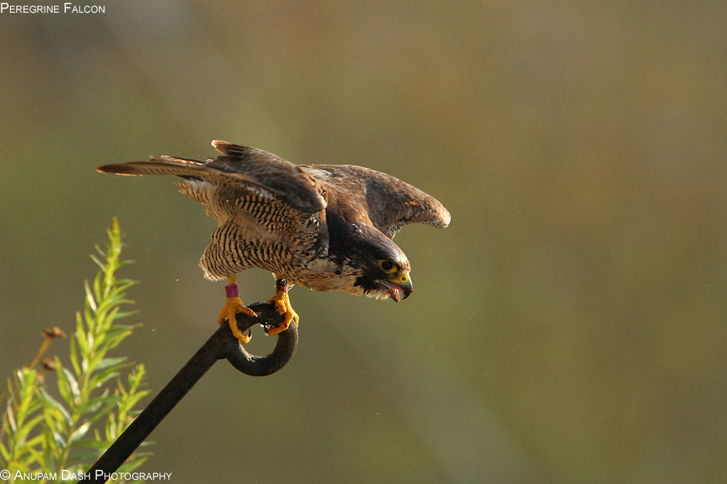 Photograph Peregrine Falcon!! by Anupam Dash on 500px