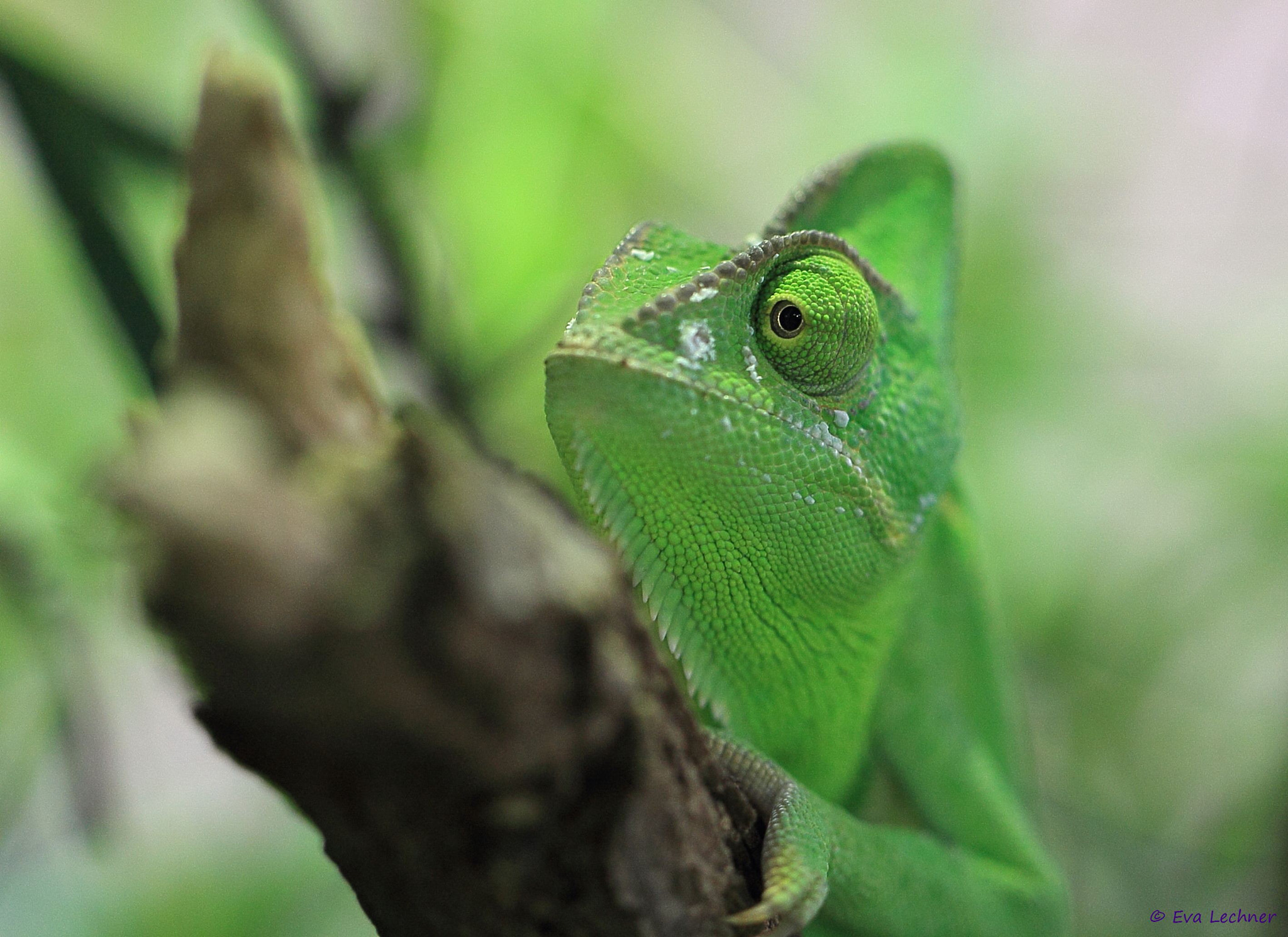 Photograph Chameleon by Eva Lechner on 500px