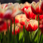 Постер, плакат: Tulip in the Spring