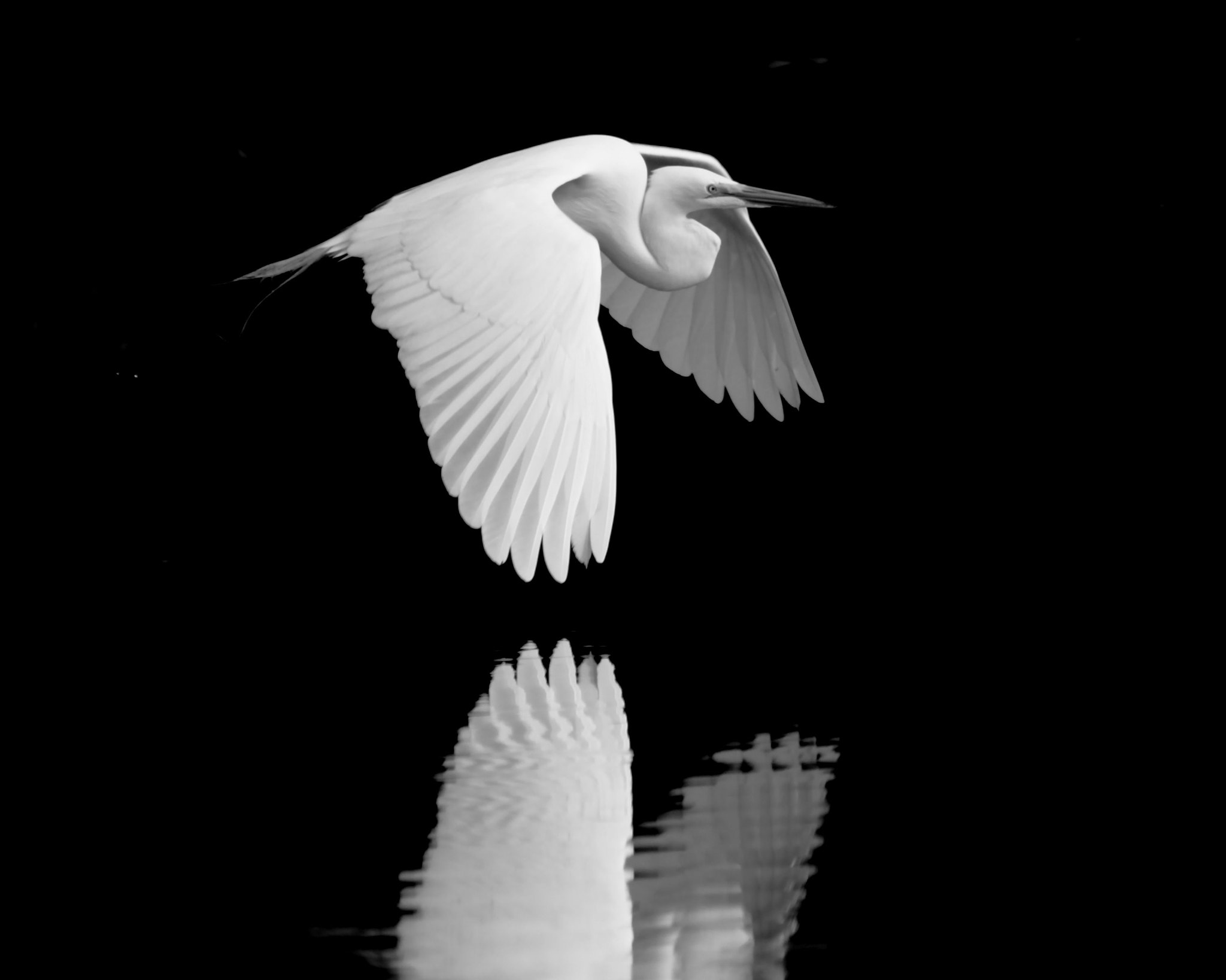 Photograph Great White Egret 1 by Steve Leach on 500px