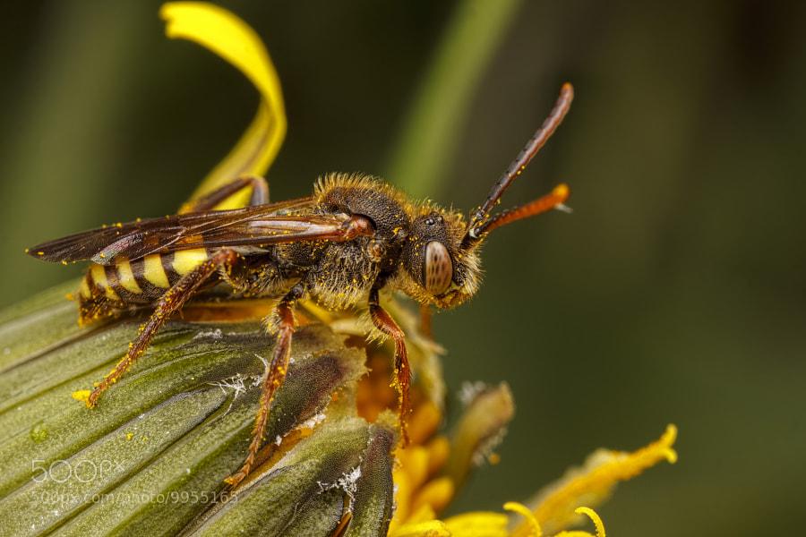 Nomanda Bee