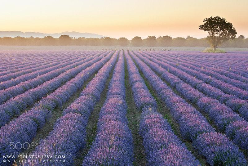 Photograph Lavender field by Stela Tasheva on 500px