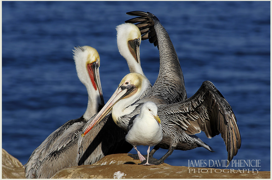 Pelicans and a Seagull