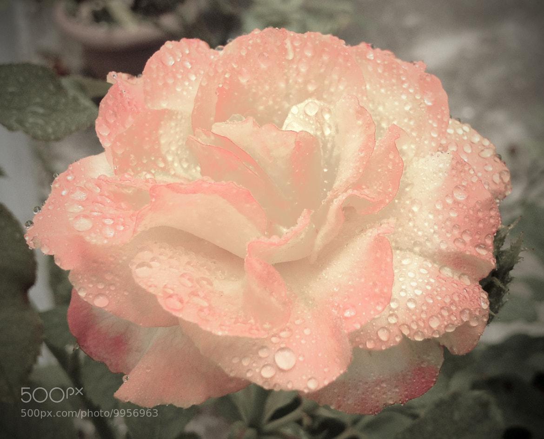 Photograph Lagrimas rosas  by Alf Baptist on 500px