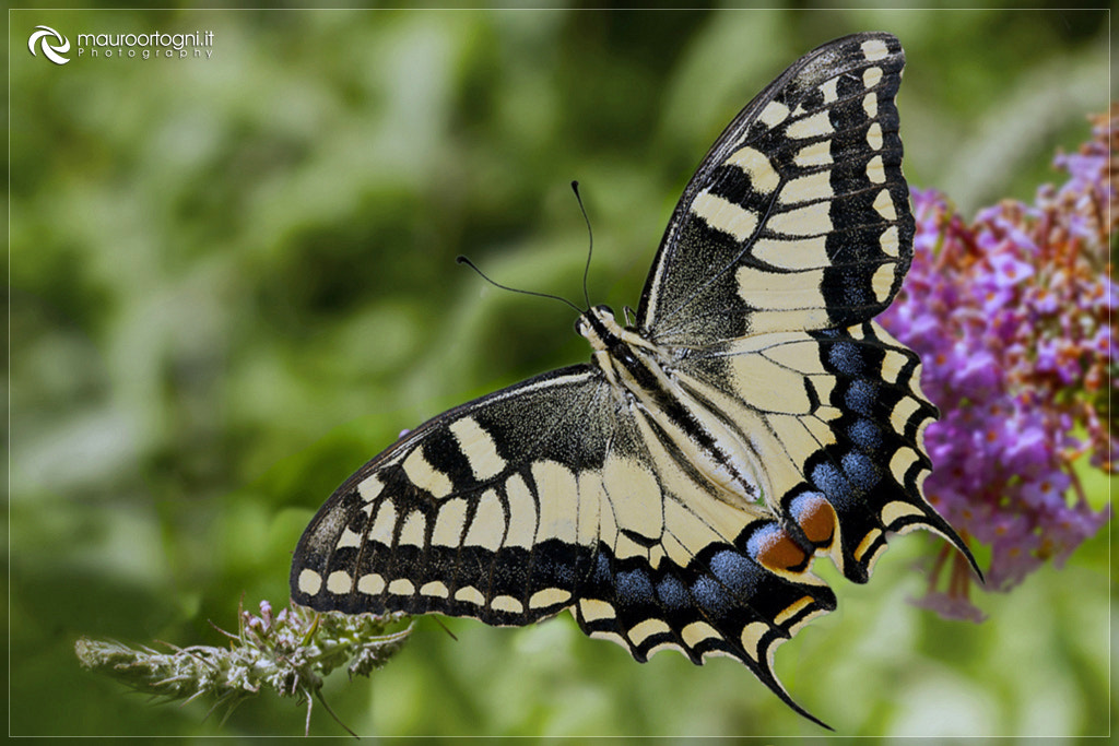 Photograph Butterfly by Mauro Ortogni on 500px