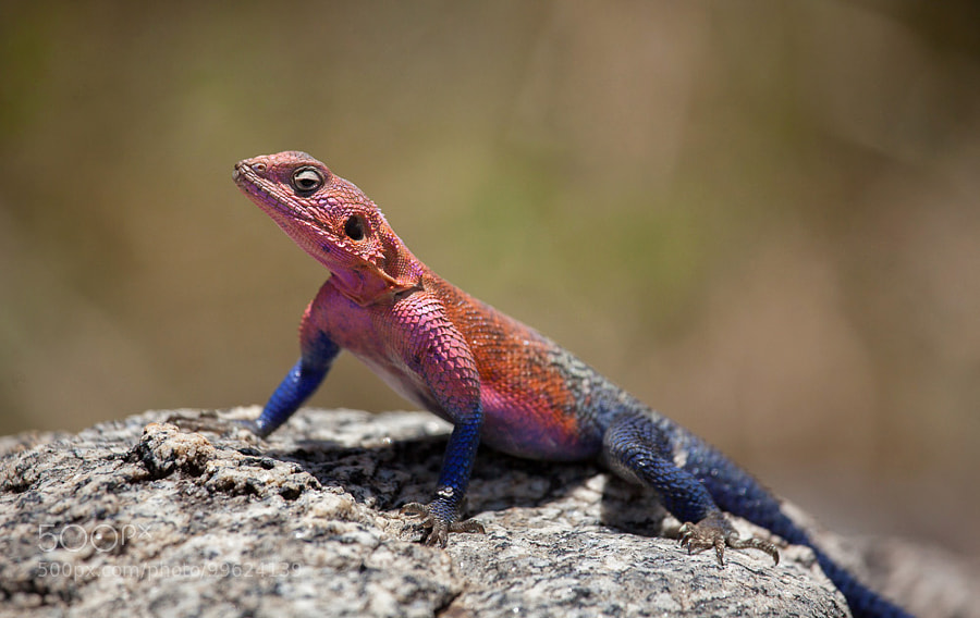 Agama Lizard by scottcarr