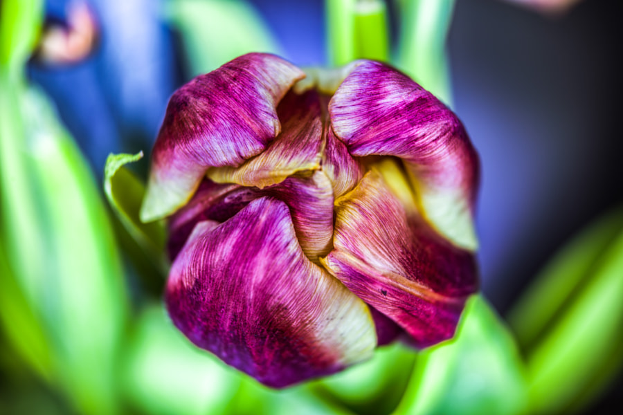 Photograph Just a Tulip by Thomas  on 500px