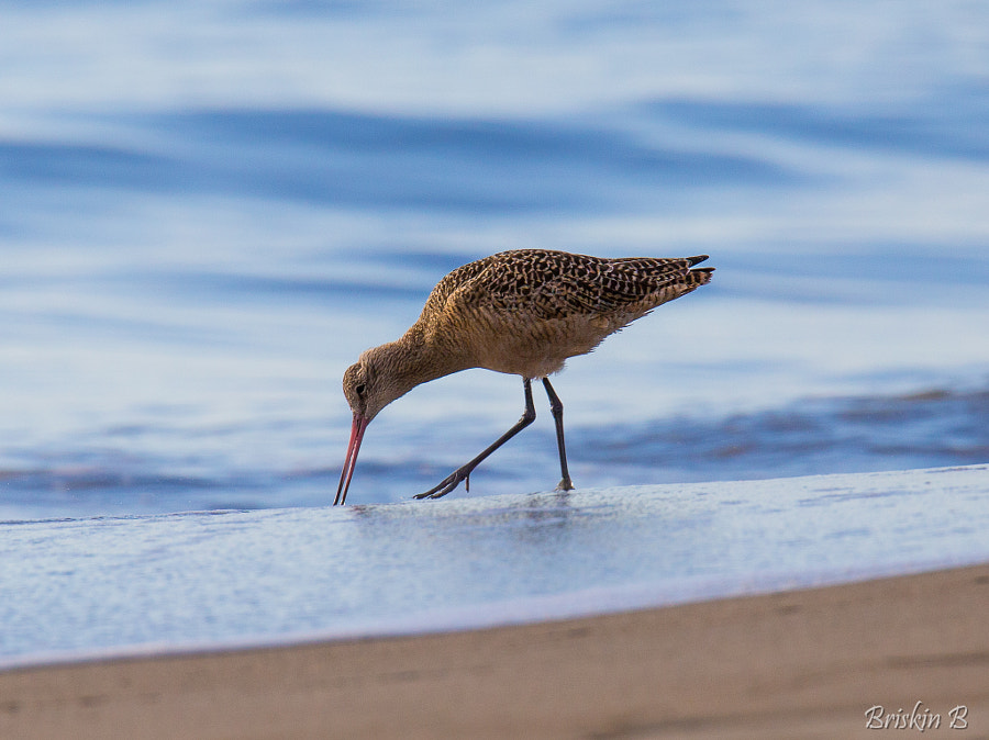 Photograph Marble godwit by Baptiste Brichart on 500px