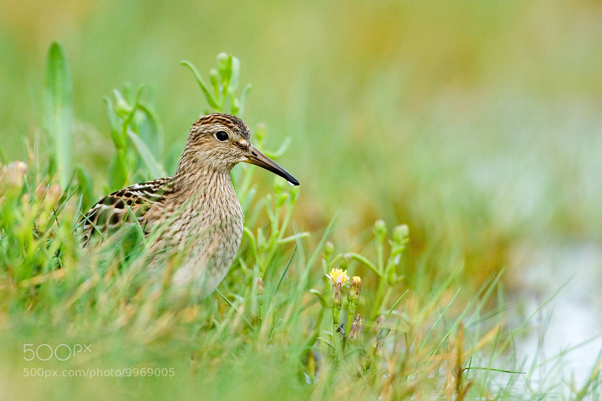 Photograph Pectoral Sandpiper by Paul Marshall on 500px