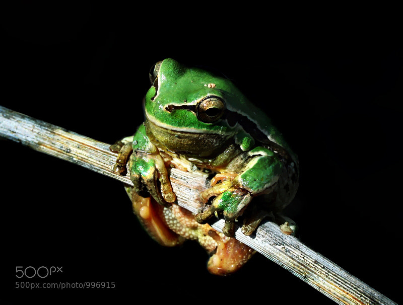 Photograph Litoria caerulea by mehmet karaca on 500px