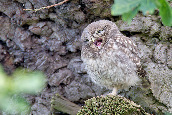 Photograph Little Owl juvenile by Ian Cook on 500px