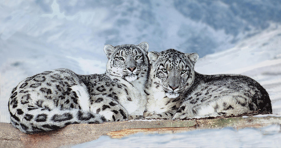500px.comのRonald CoulterさんによるSnow Leopards