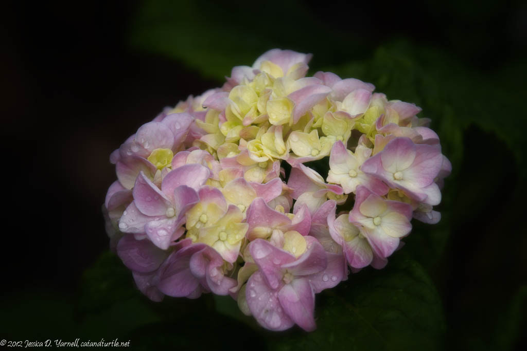 Photograph Hydrangea Bloom After Rain by Jess Yarnell on 500px