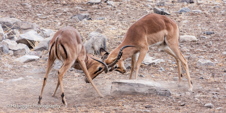 two male impalas having a mock fight, etch national park, namibia