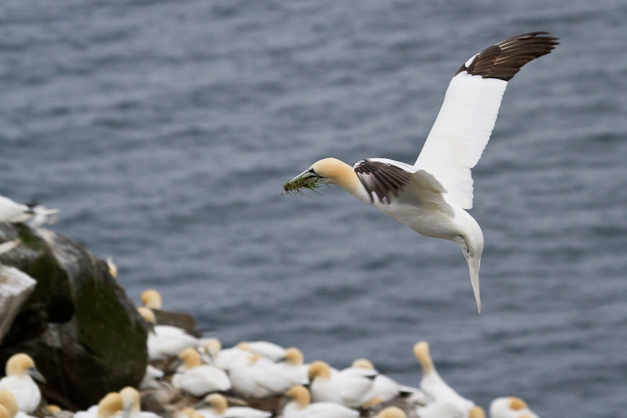 Photograph Gannet Landing by Geoff Holden on 500px