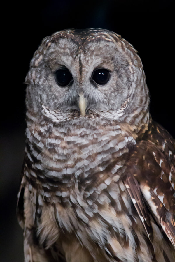 Photograph Owl by Daniel Agnew on 500px