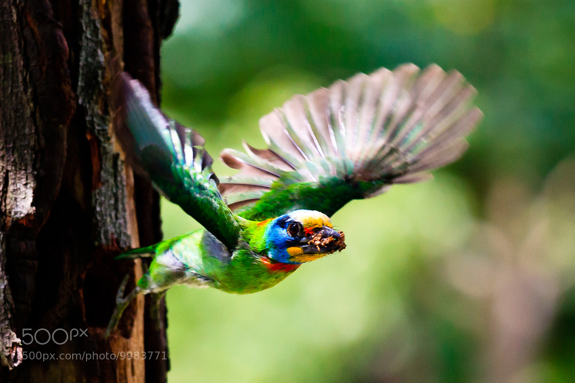 Photograph Muller's Barbet by Justin Yeh on 500px