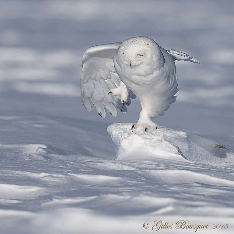 500px.comのGilles BousquetさんによるSnowy Owl_Harfang des neiges