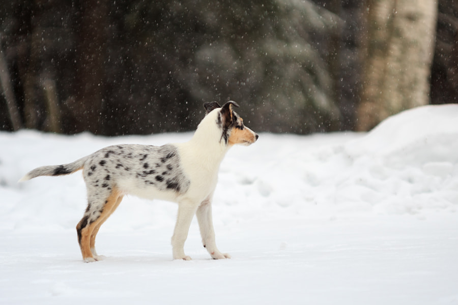 Smooth Collie by Sami Multasuo on 500px.com