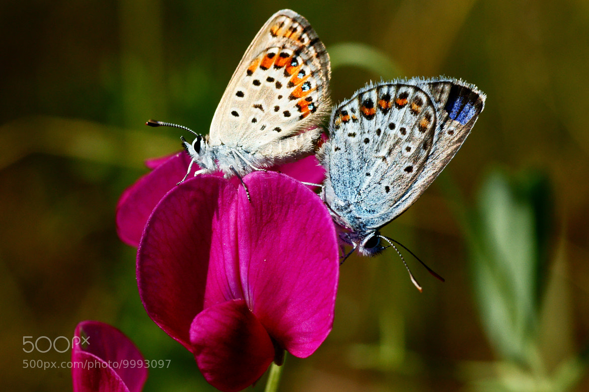 Photograph Butterflys and flower by Grigory Nesvetaev on 500px