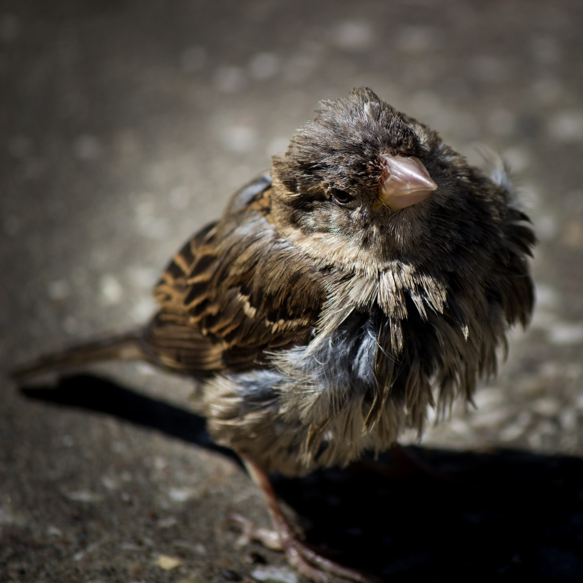 Photograph Sparrow by Dan Mulley on 500px