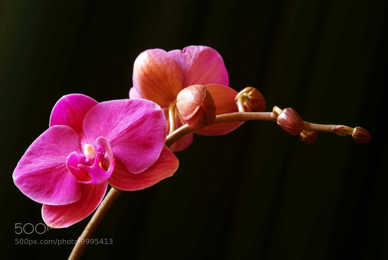 Photograph Purple Cymbidium Orchid by Lillian Arnold on 500px