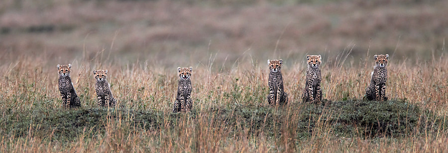 Six Cheetah Cubs