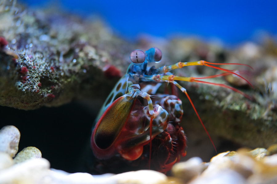 Colorful Mantis shrimp by Dennis de Jager on 500px.com